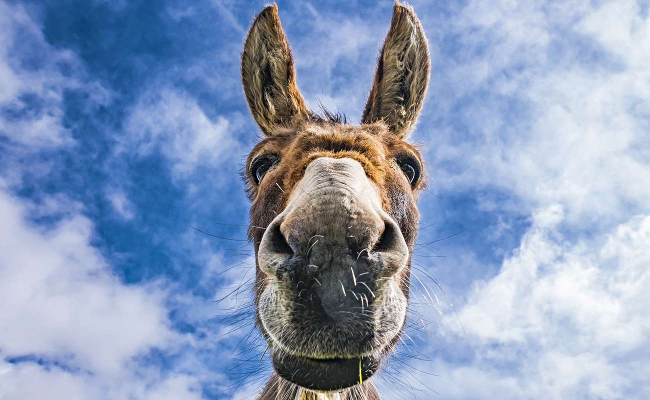 A donkey looking down into the camera zoomed in to its face