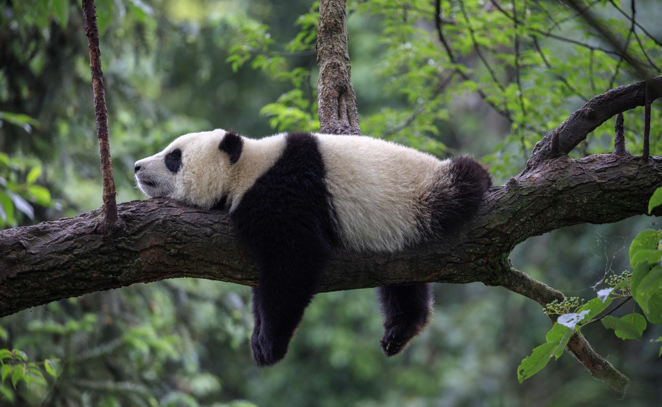 A panda bear lying down on a tree branch.