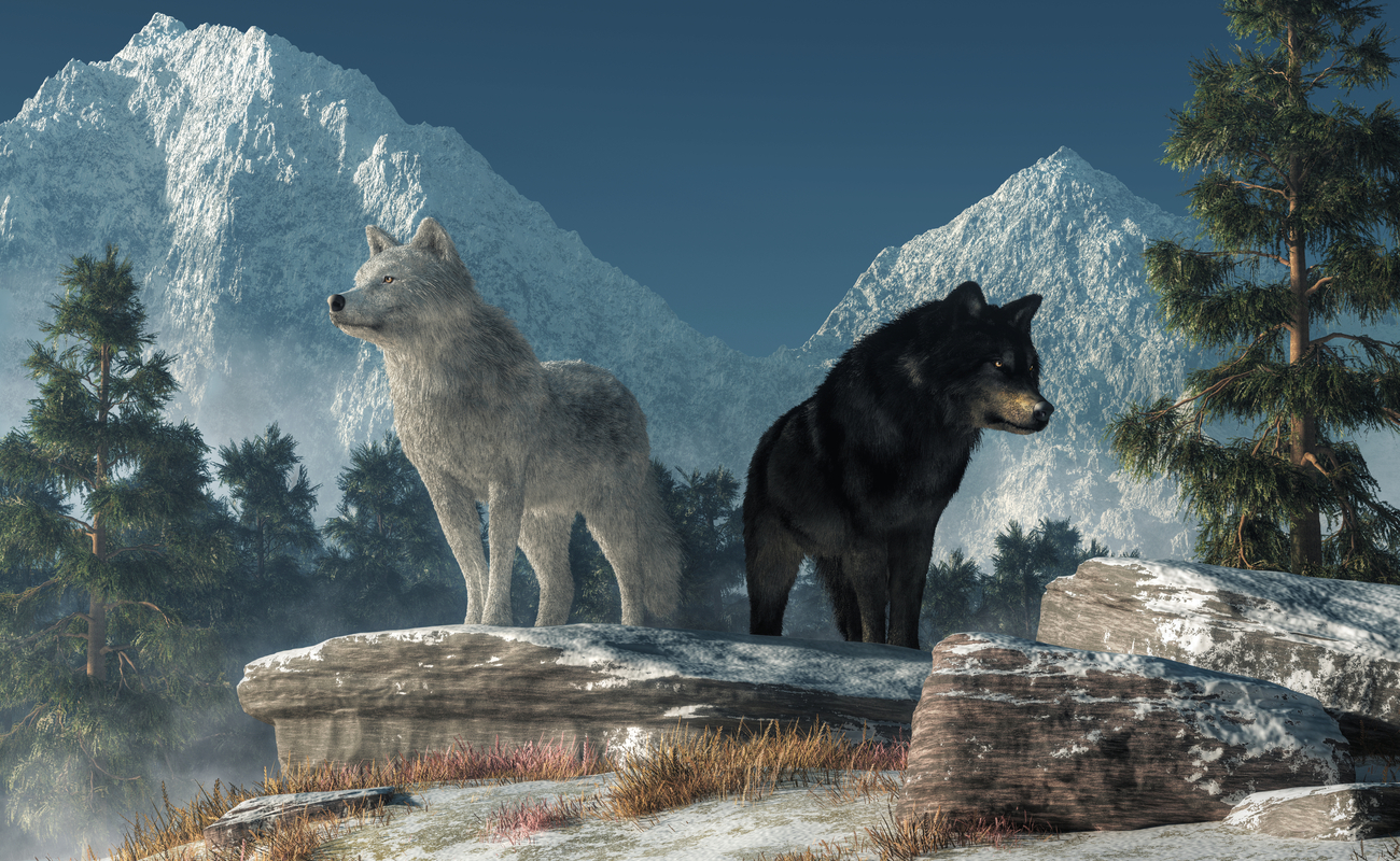 A white wolf and a black wolf stand on a rocky outcrop with snow-capped mountains in the background.